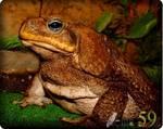 Жаба Ага Суринамская