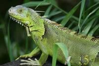 Игуана зелёная М