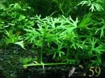 Ранункулус (меристемное растение)
