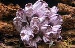 Коралл морской желудь 7-9
