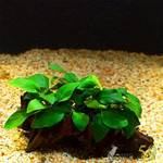 Растение на лаве (Анубиас с папоротником)